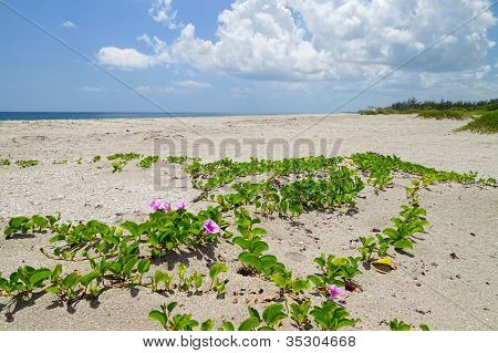 Beach with Railroad Vine