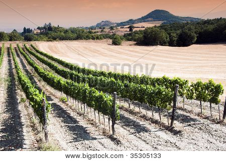 Vineyard At The Sunset