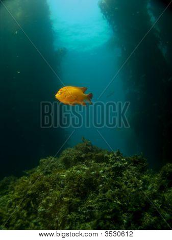 Lone Garibaldi On A Catalina Reef