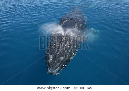 Whale humpback breaching blowing