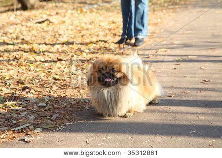 Dog of breed a Pekinese on walk in autumn park