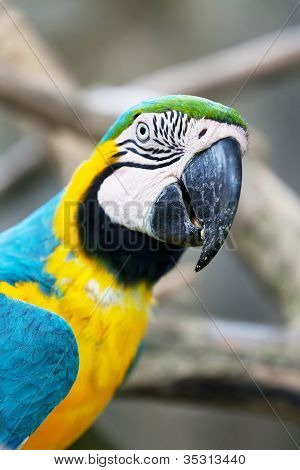 Big dark blue and yellow parrot of the macaw