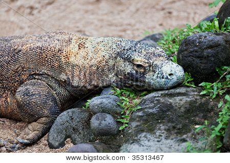 Komodowaran Varanus komodoensis