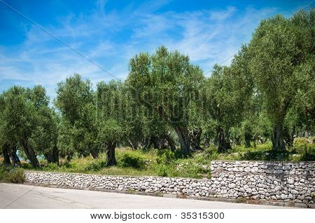 Mediterranean olive field with old olive tree ready for harvest