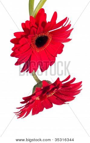 Two Red Gerbera Flower From The Top