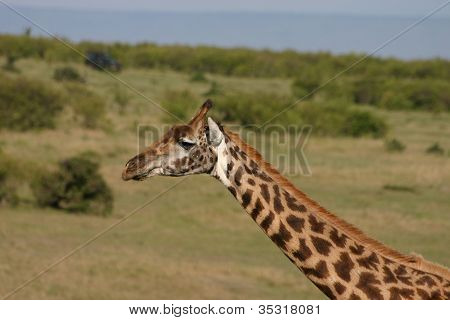 Giraffe in the Massai Mara
