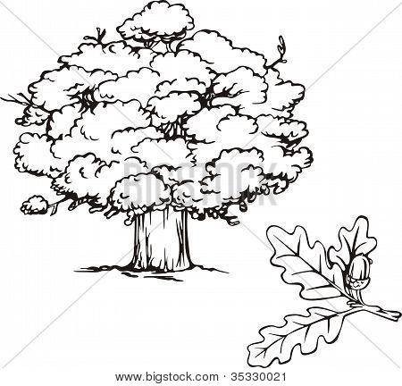 Oak Tree And Branch With Acorn