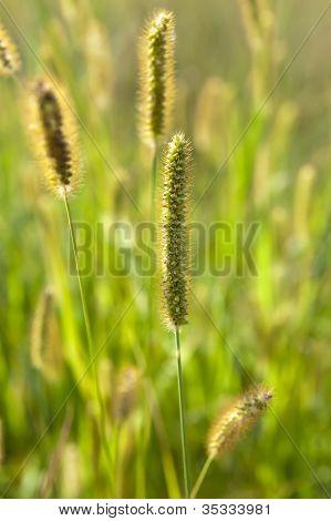 Steppe Grass
