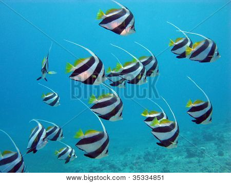 shoal of butterflyfishes in red sea
