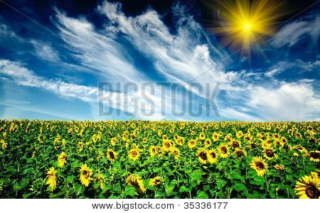 Cloudy Blue Sky  And Sunflowers Field.