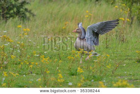 Greylag goose looking like a Pegasus