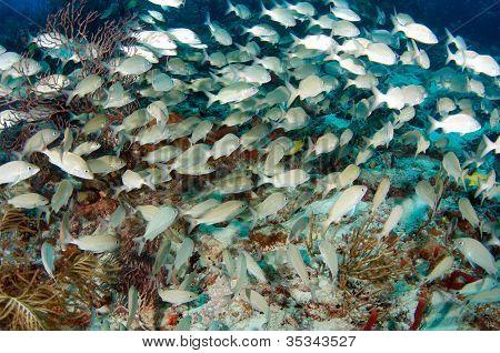 Grunts on the Reef