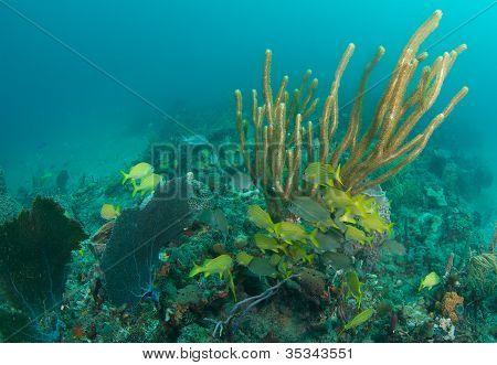 Large Gorgonian