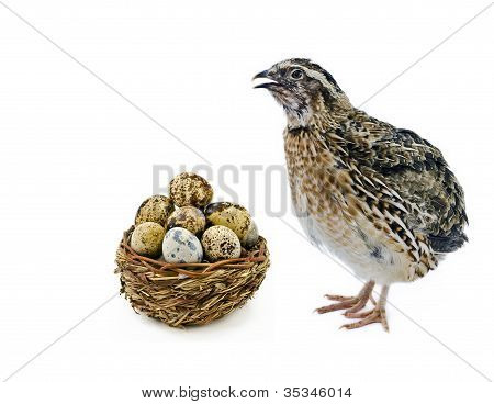 Quail and basket with eggs isolated on white background