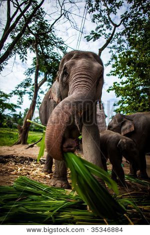 Mature female elephant with sugarcane in its mouth eating off the ground, trunk in the air.