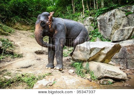 Mature female elephant sits on a rock, boulder scratches itself