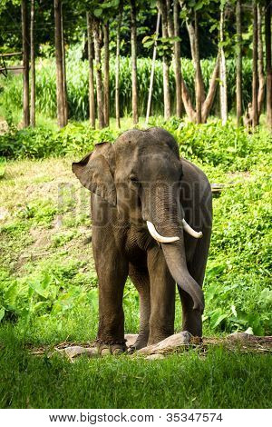 Mature male bull elephant with long tusks stands in the middle of the forest