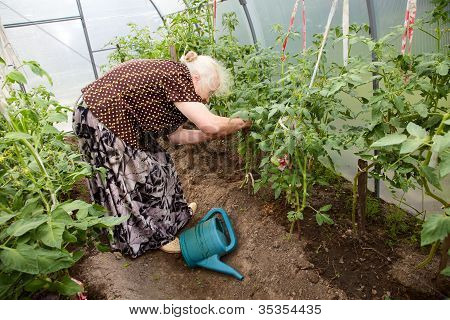 The Old Woman In A Hothouse At Bushes Of Tomatoes