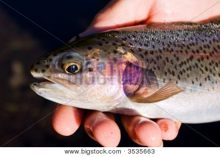 Rainbow Trout From A Mountain Lake - Close