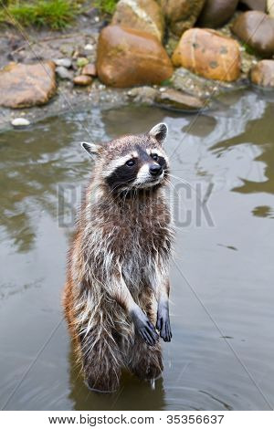 Common Raccoon Or Procyon Lotor