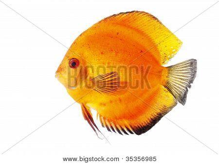 Orange Discus