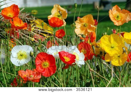 California Poppy Flower In Different Colors