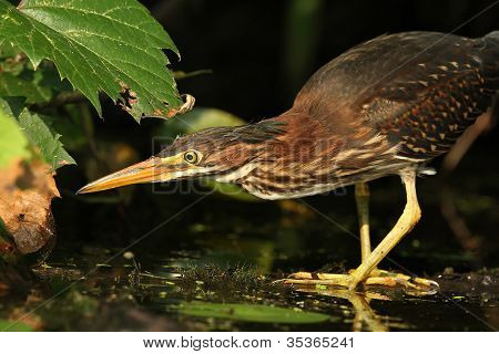 Young Green Heron Stalking its Prey