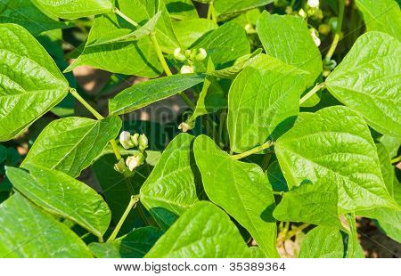 Close-up Of White Flowering Green Beans Plants
