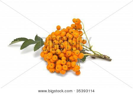 Ashberry Cluster With  Bright Orange Berry Isolated On White Background