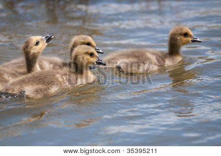 Goslings Swimming On A Pond