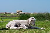Young Sheep On The Grass