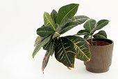 foto of crotons  - Tropical croton houseplant on the right directed to the left - JPG