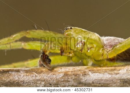 Green huntsman spider (Micrommata virescens)