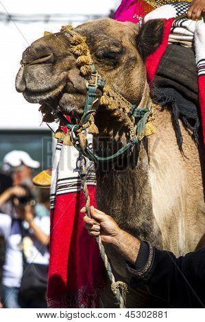 medieval camel