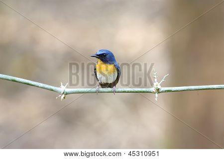 Tickell's Blue Flycatcher Cyornis tickelliae male