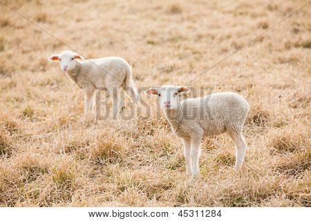 Tw White Lambs Looking Into Camera On Pasture