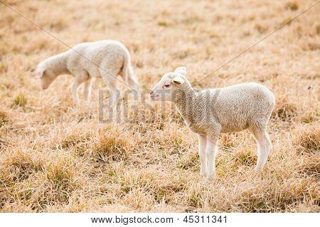 Two White Lambs Feeding On Pasture