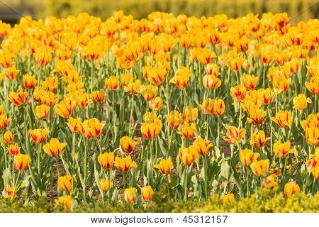 Group Of Yellow Tulips With Red Parts