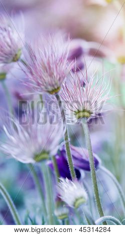 Pasque flowers after flowering