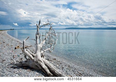 Dead Tree On The Shore Of Lake Khovsgol Mongolia