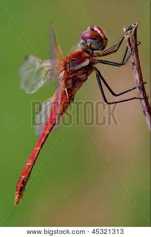 Black Red Dragonfly