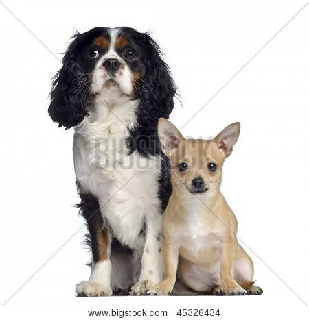 Cavalier King Charles, 1,5 years old and Chihuahua, 7 months old, sitting and facing, isolated on white