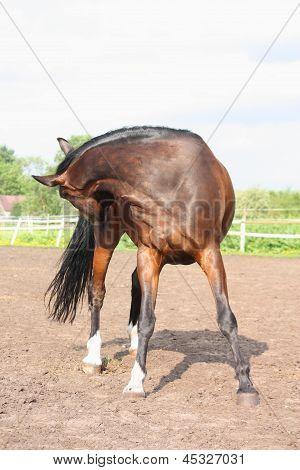 Bruin paard bijten zich