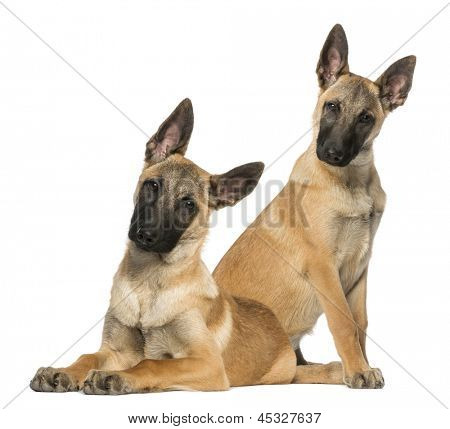 Two Young Belgian Shepherds sitting and lying down, 5 months old, isolated on white