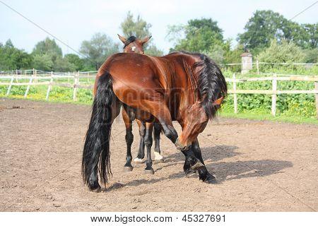 Cavalo castanho, mordendo a mesmo