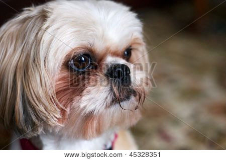 Shih tzu Dog Looking Forward