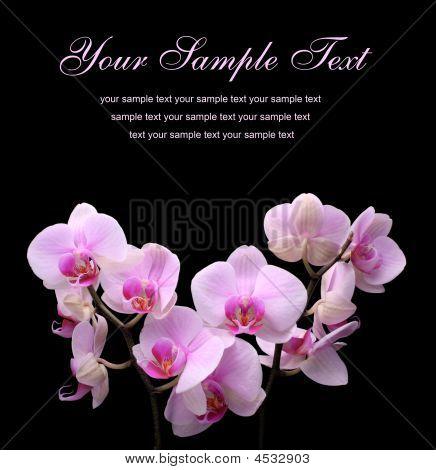 Flor rosa orquídea sobre un fondo negro