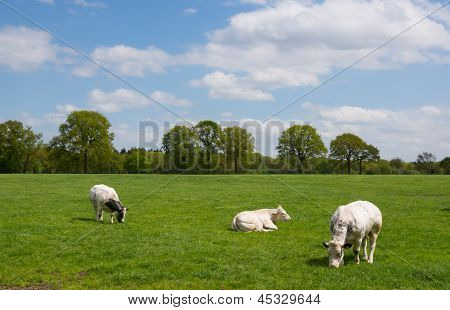White Cows In Rural Landscape