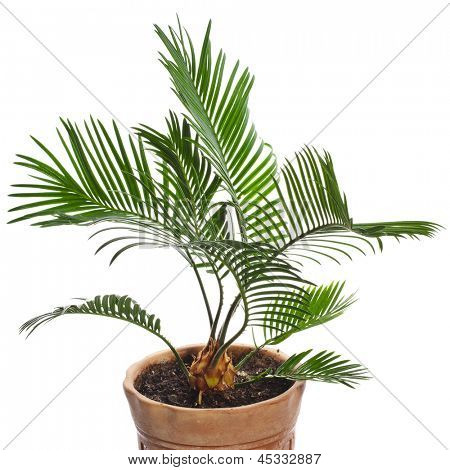 palm tree in clay flowerpot isolated on white background