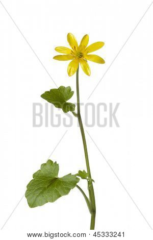 Yellow Lesser celandine flower on white background